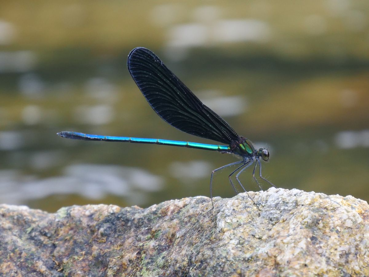 とんぼ 蜻蛉 餌 羽化 幼虫